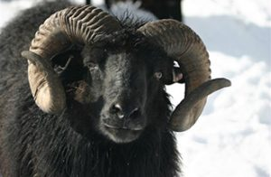 Ardalanish Farm hebridean sheep